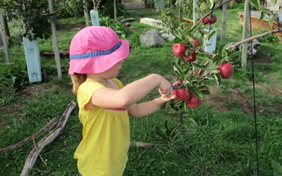 harvesting apples from our orchard.jpg